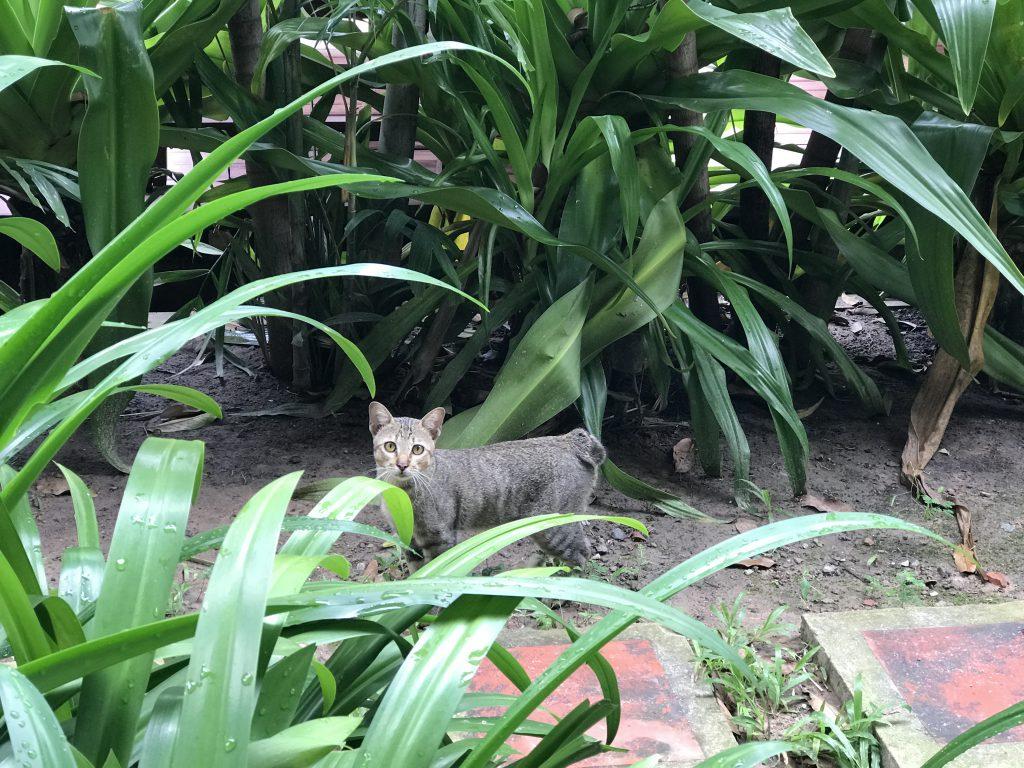 プレアヴィヒアの猫
