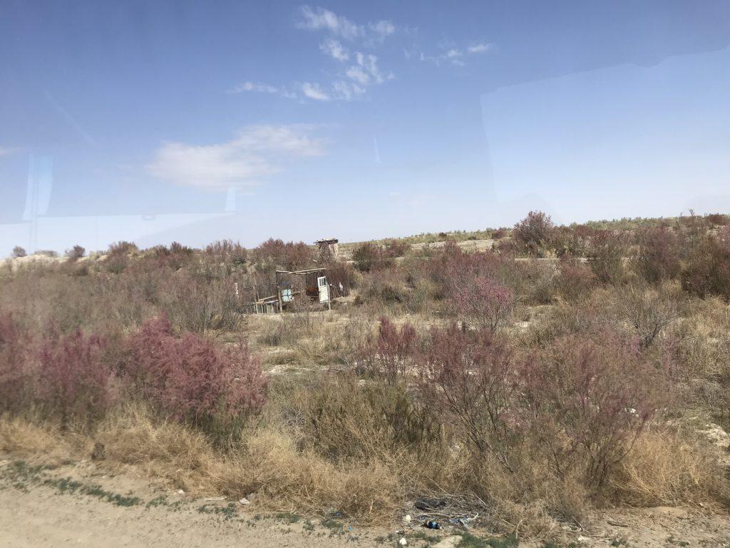 キジルクム砂漠 タマリスク