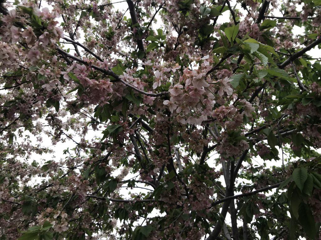 シャーヒズィンダ廟群 桜