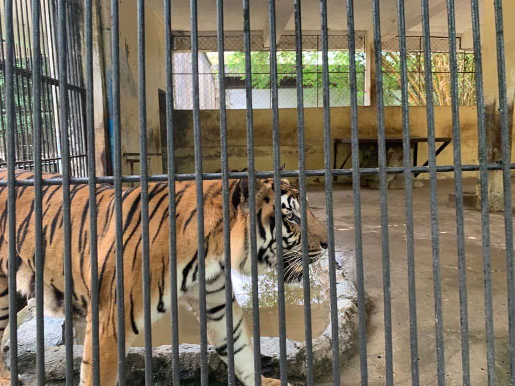 ヤンゴン動物園 虎