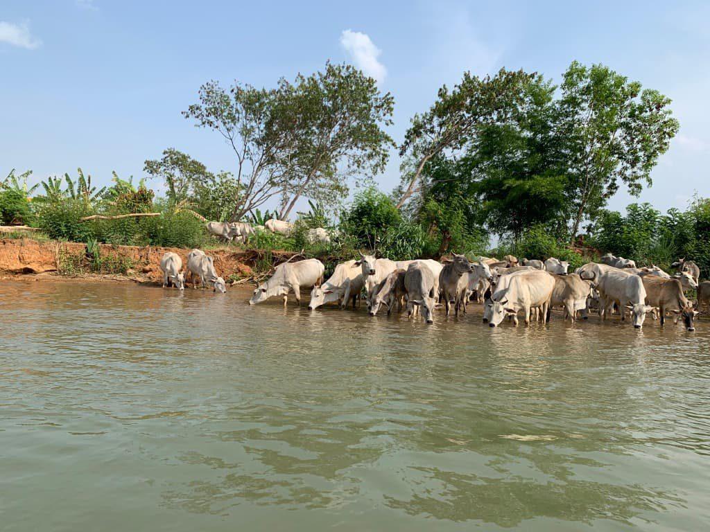 インレー湖の牛の群