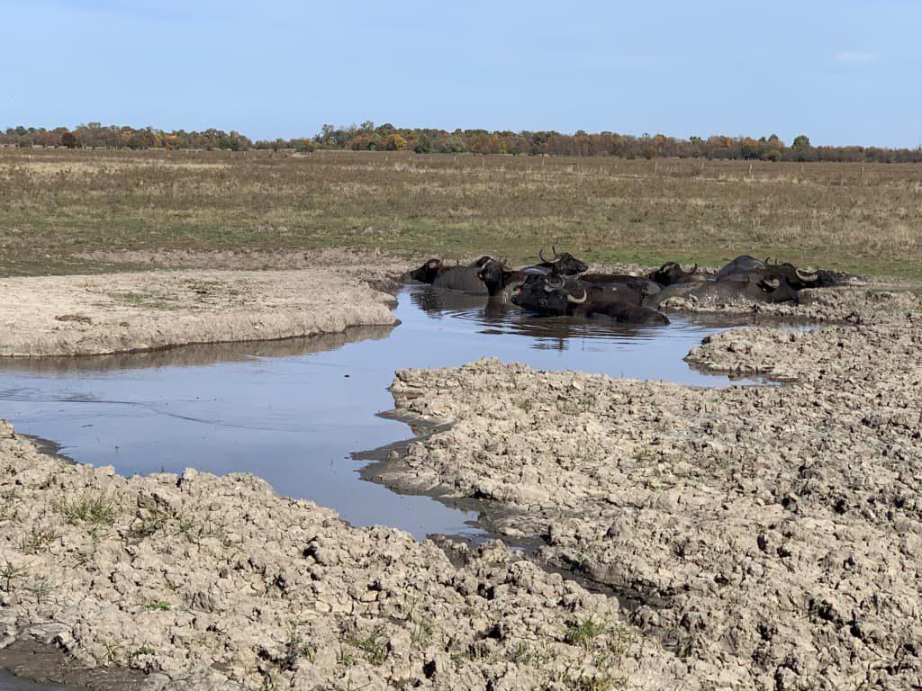 ホルトバージ国立公園 水牛