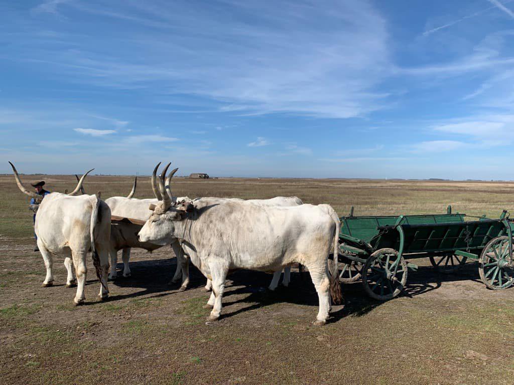 ホルトバージ 牛