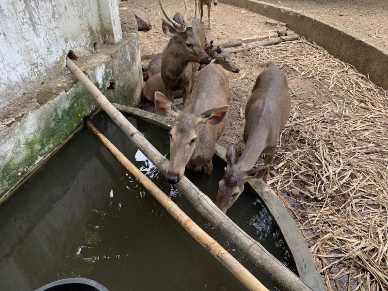 ヤンゴン動物園 鹿ゾーン