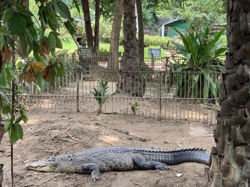 ヤンゴン動物園 ワニ